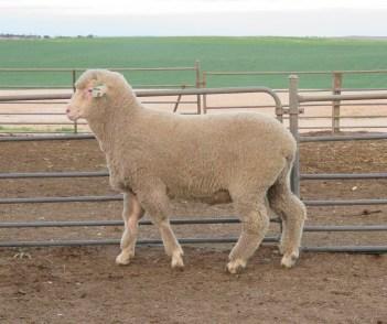 150461 sheep