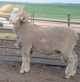 150563 sheep