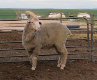 150571 Sheep