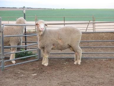150596 Sheep