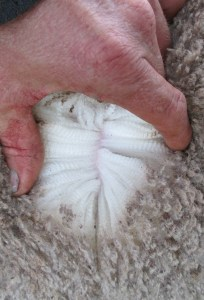 150596 Wool