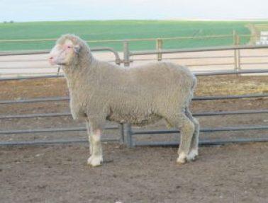 150620 sheep