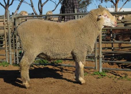 OBDM 150044 sheep