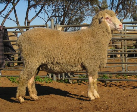 OBDM 150047 sheep