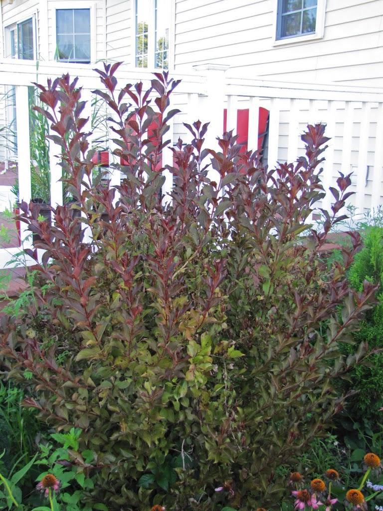 Pruning Weigela Wine And Roses The Obsessive Neurotic Gardener