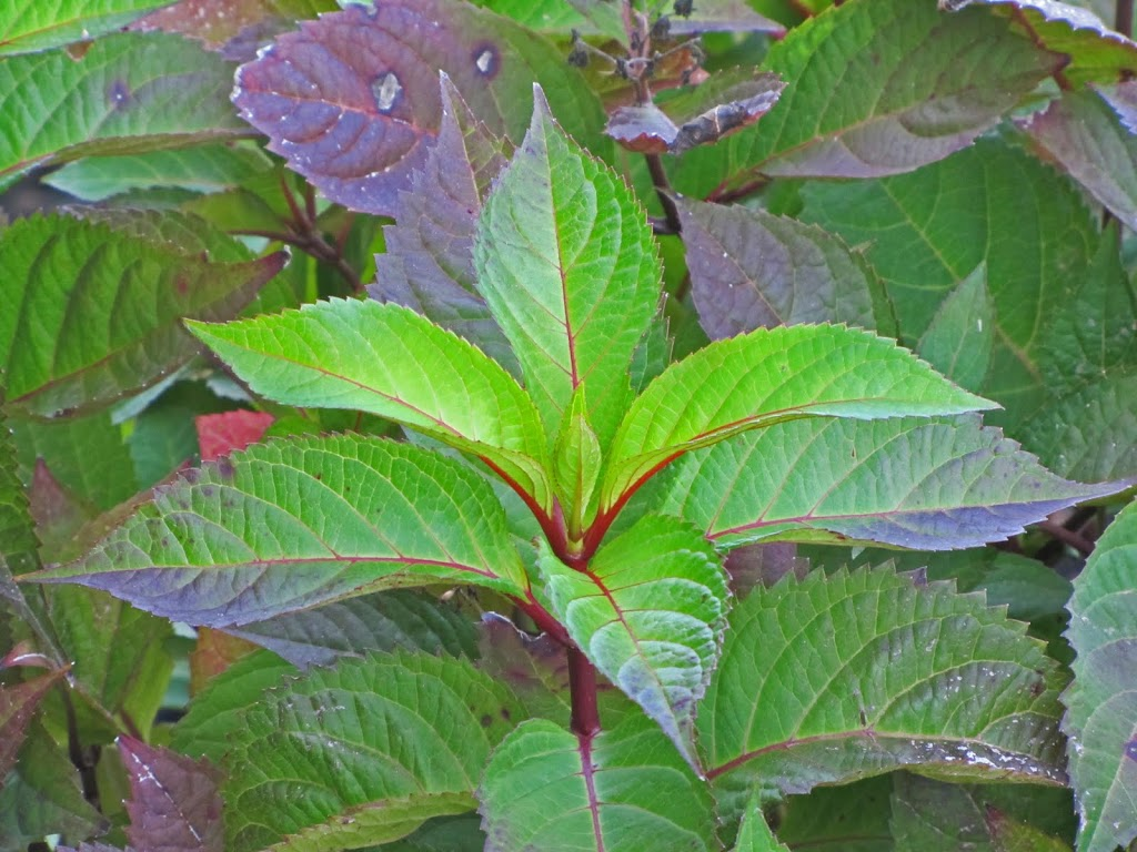 Hydrangea Macrophylla Lady In Red The Obsessive