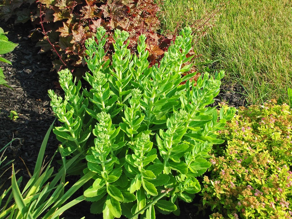 Prune in june sedum 39 autumn fire 39 the obsessive - The well tended perennial garden ...