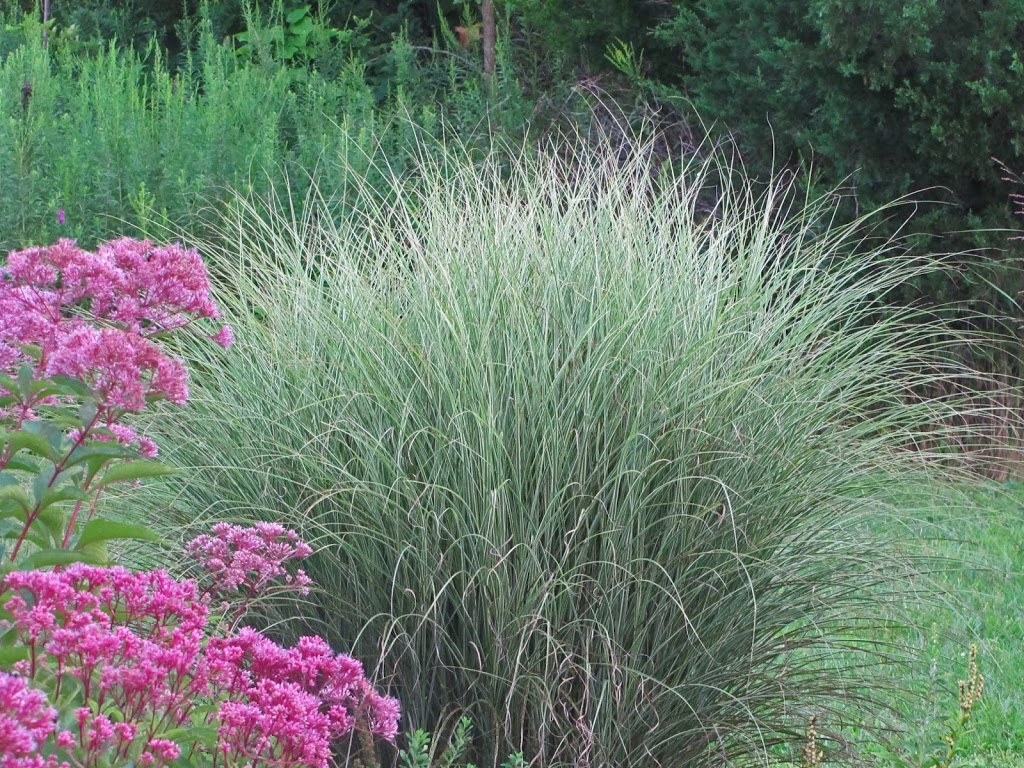Ornamental grasses take the spotlight the obsessive for Ornamental grasses that bloom