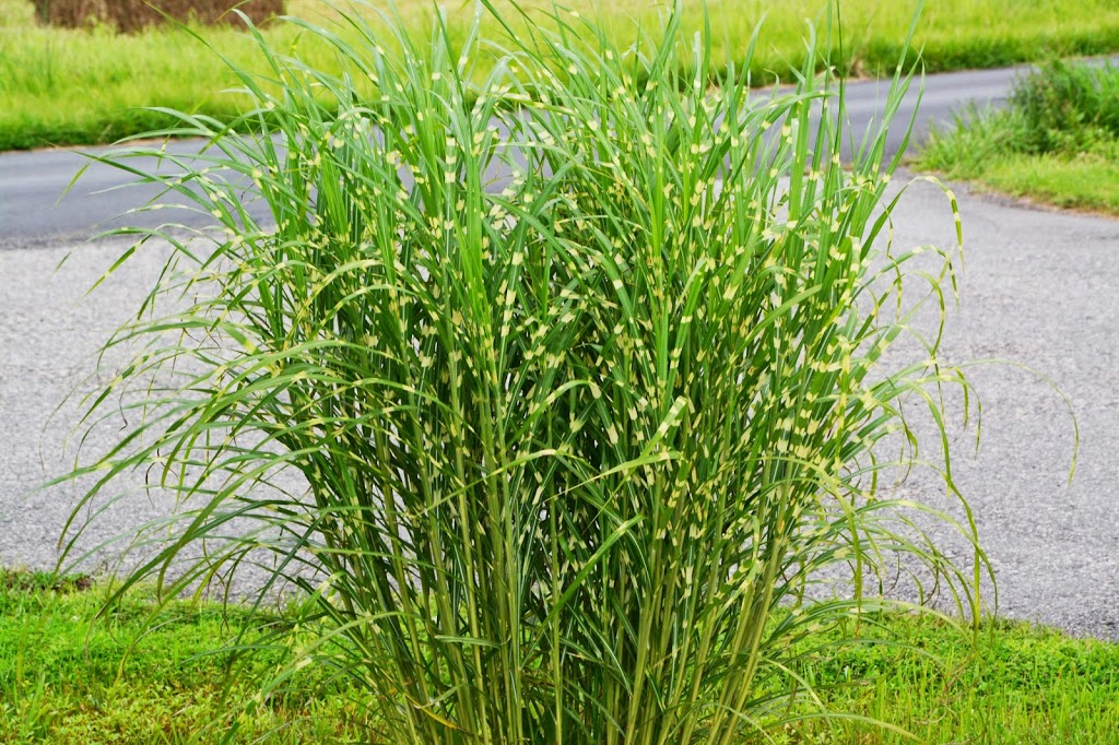 Even more ornamental grass talk the obsessive neurotic for Ornamental grasses 3 ft tall