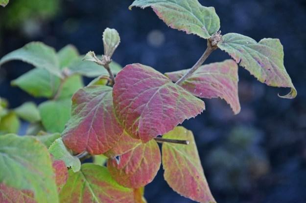 viburnum-aurora-fall