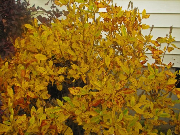 clethra ruby spice fall color