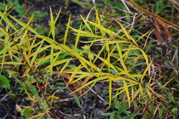 amsonia-fall-color