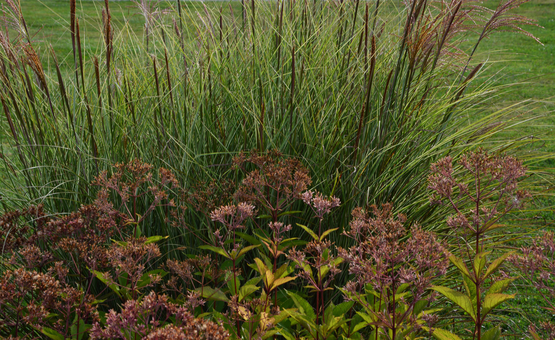 Joe Pye Weed Eupatorium The Obsessive Neurotic Gardener