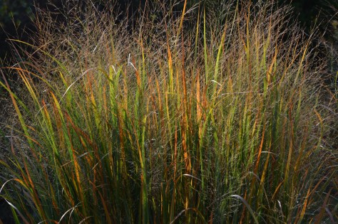 panicum northwind fall color2