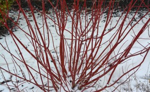 pruning redtwig dogwood 4