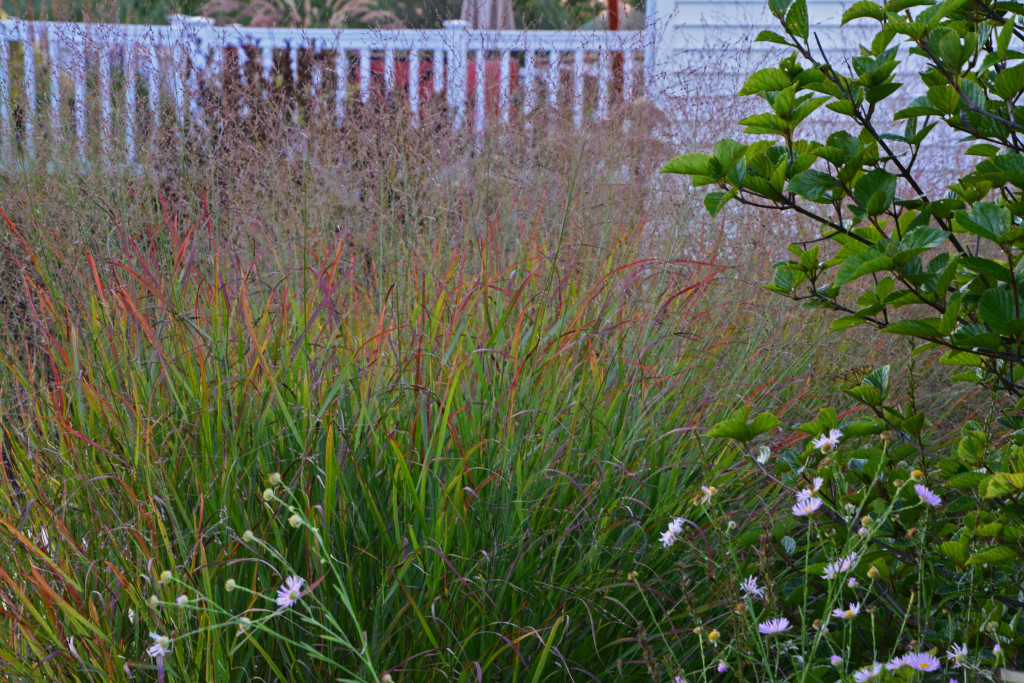 andropogon 'red octobe...