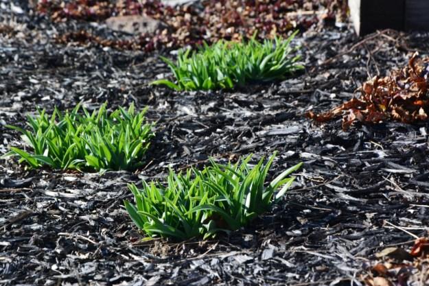 daylily emerging
