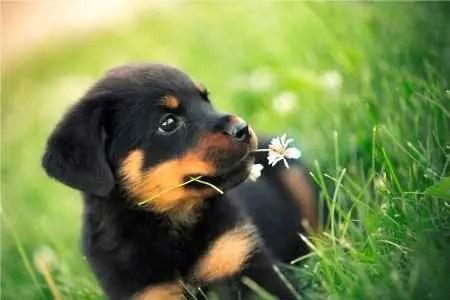Filhote de Rottweiler na grama