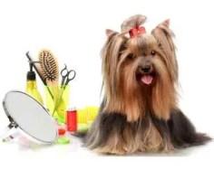 Cuidados Básicos com o Yorkshire Terrier