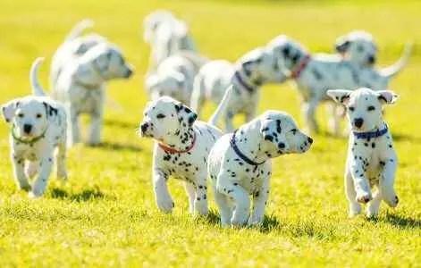 filhotes de dalmata