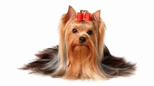 Yorkshire Terrier com lacinho na cabeça