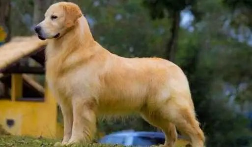 Temperamento do Golden Retriever