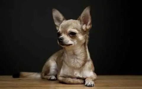 Aparência do Chihuahua