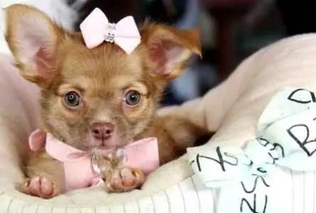 Linda filhotinha de Chihuahua