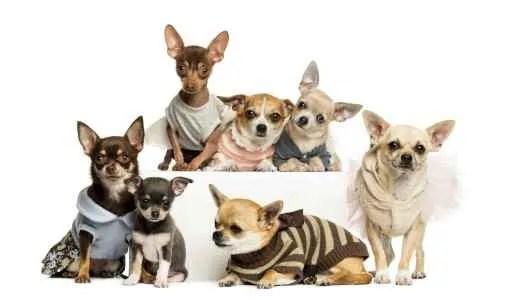Vários Chihuahuas juntos
