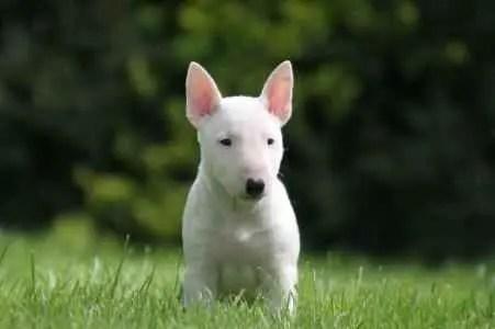 Filhote de Bull Terrier na Grama