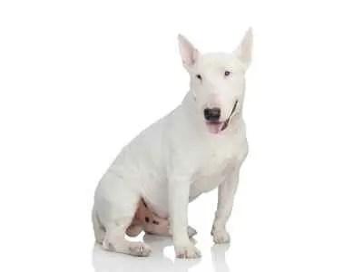 Bull Terrier em fundo branco