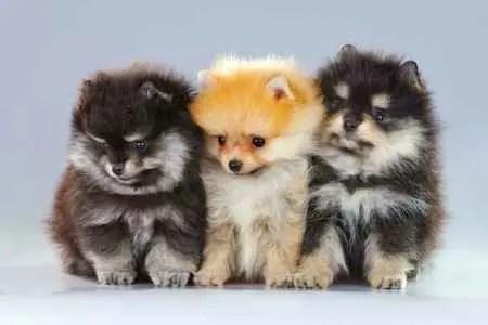 Três filhotes de Lulu da Pomerânia (Spitz Alemão Anão)