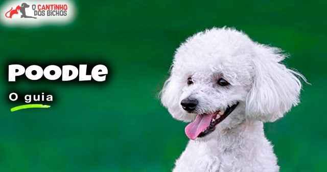 Poodle Destaque