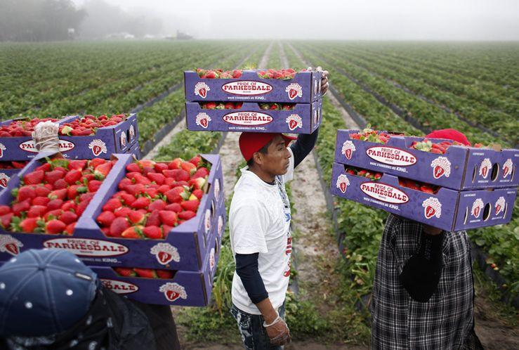 Florida Strawberry Industry