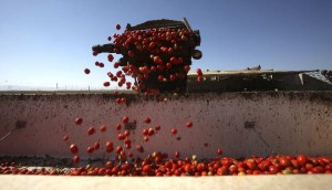 Stiff competition from Mexico threatens the Florida tomato industry