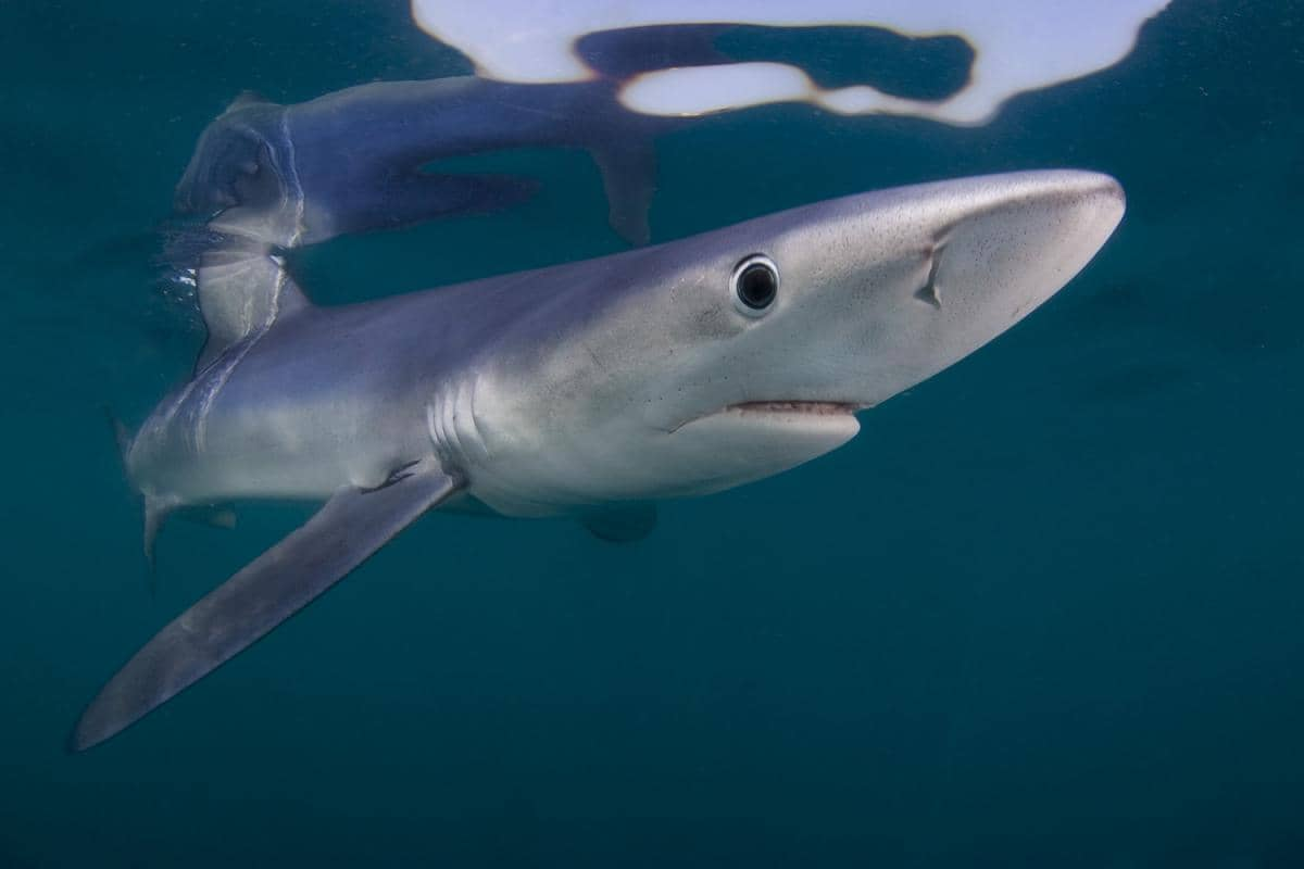 What Shark Species Live In Canada S Coastal Waters