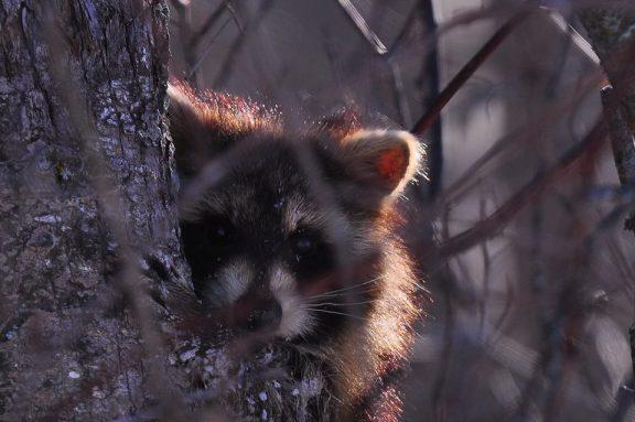 Louise Olson raccoon