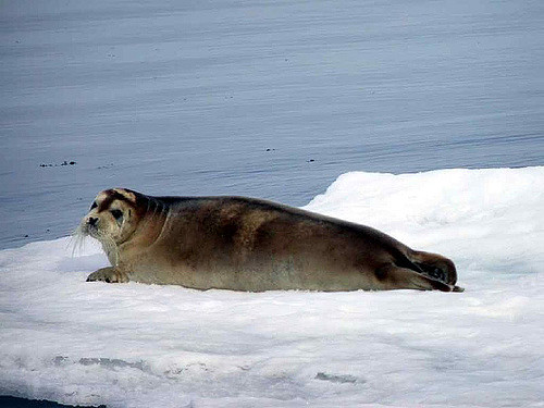 Bearded seal resting on ice