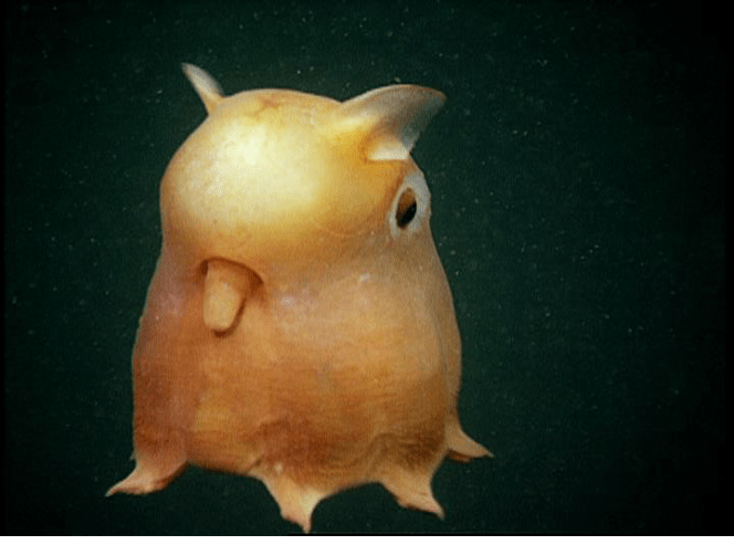 Creature Feature: Dumbo Octopus