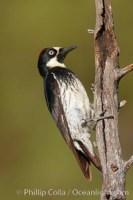 acorn woodpecker melanerpes formicivorus 22906