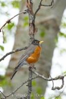 american robin turdus migratorius 12665