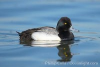 aythya affinis lesser scaup 18418 - HEALTH AND FITNESS