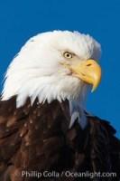 bald eagle closeup 22582