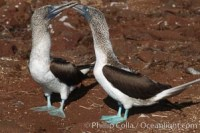 blue footed booby sula nebouxii 01791