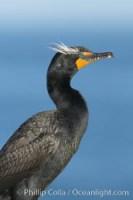 double crested cormorant phalacrocorax auritus 15784