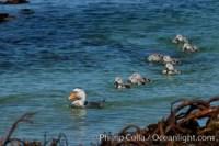 flightless steamer duck falklands 23974 - HEALTH AND FITNESS
