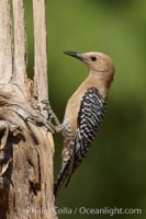 gila woodpecker melanerpes uropygialis 22928 - HEALTH AND FITNESS
