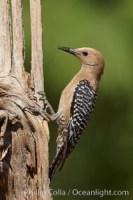 gila woodpecker melanerpes uropygialis 22928