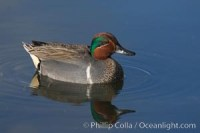 green winged teal 15702