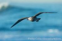 heermanns gull flight 30348